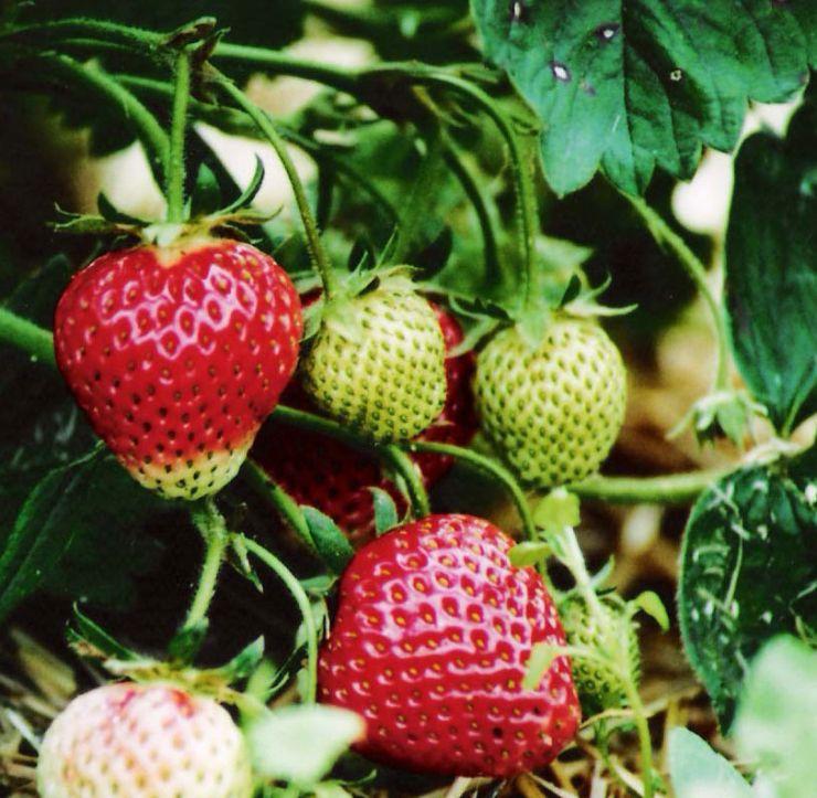 bio-landhof-mack_bio-erdbeeren.jpg